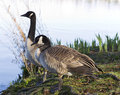 Canadian Geese Mates Royalty Free Stock Images - 24365009
