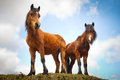 Irish Horses On The Hill Stock Image - 24375771
