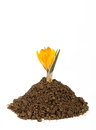 Small Plant Crocus Growing Pile Of The Dirt Royalty Free Stock Image - 24379696