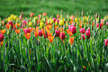 Colorful  Tulips Royalty Free Stock Photo - 24381325