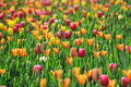 Colorful  Tulips Royalty Free Stock Photos - 24381458