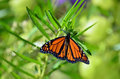 Monarch Butterfly Stock Image - 24387461