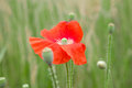 Poppy Flower In The Field Royalty Free Stock Photos - 24393218
