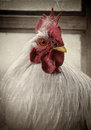 Old Photo Of A White Rooster Stock Image - 24394541