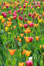 Colorful  Tulips Royalty Free Stock Photography - 24394747