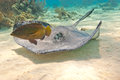 Southern Stingray And Fish Stock Photography - 24395462