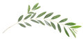 Olive Branch Royalty Free Stock Image - 24399376