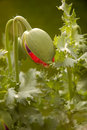 Poppy Bud Stock Photos - 2440823