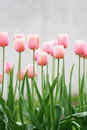 Tulips Stock Images - 2440874