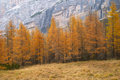 Larch Trees In Autumn Royalty Free Stock Image - 2442496