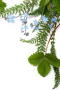 Forget-me-not (floral Ornament Royalty Free Stock Photography - 2445597