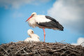 Two White Storks ( Ciconia Ciconia ) Standingin A Stock Photos - 24400673