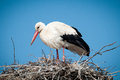 White Storks ( Ciconia Ciconia ) Standingin A Royalty Free Stock Photography - 24402027