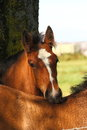 Shire Foal Stock Photography - 24406652