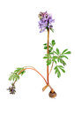 Flower Corydalis Halleri With Root Bulb. Royalty Free Stock Image - 24411896