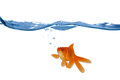 Goldfish Swim In The Water Stock Image - 24415721