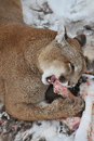 Starved Cougar Stock Photography - 24419382