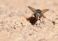 House Fly Royalty Free Stock Photo - 24439565