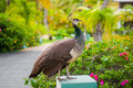 Portrait Of Peacock Stock Photography - 24447462