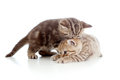 Two Funny Small Kittens Playing With Each Other Stock Photos - 24477333