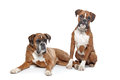 Two Plain Fawn Boxer Dogs Royalty Free Stock Photo - 24481345