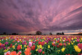 Sunset Over Tulip Field Royalty Free Stock Photo - 24482915