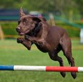 Chocolate Labrador Royalty Free Stock Images - 24489039