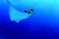 Spotted Eagle Ray Stock Photography - 24490722