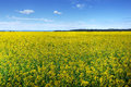 Canola Or Rapeseed Cultivated Field Royalty Free Stock Photos - 24497778