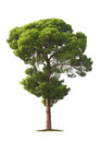 Tree On White Background Royalty Free Stock Photography - 24498777