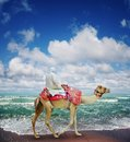 Camel On Jumeirah Beach Stock Images - 24514764