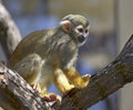 Common Squirrel Monkey Stock Images - 24517314