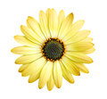 Yellow Daisy Flower Stock Photography - 24523182