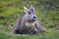 Chinese Goral Royalty Free Stock Image - 24531946