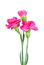 Bouquet Of Three A Pink Carnations Royalty Free Stock Photography - 24534867
