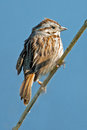 Song Sparrow Stock Images - 24548854
