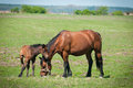 Horse Family Stock Photos - 24563243