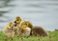 Canada Goose Goslings Stock Images - 24566224