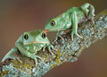 Waxy Tree Frog Love Stock Images - 24592714