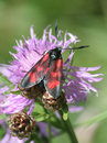 Five Spot Burnet Moth Royalty Free Stock Images - 2464629