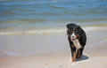Dog On The Beach Royalty Free Stock Image - 24608996
