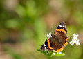 Red Admiral Butterfly Royalty Free Stock Photos - 24613848
