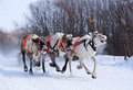 Team Of Rein-deers Skims Over The Snow Path. Stock Images - 24616614