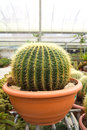 Cactus Royalty Free Stock Photo - 24617425