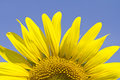 Sunflower In Summer Royalty Free Stock Image - 24619586