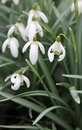 Snowdrops Royalty Free Stock Photo - 24628315