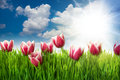 Grass And Pink Tulip S Flowers Stock Image - 24631201