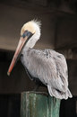 Pelican Royalty Free Stock Photos - 24640338