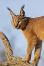 Caracal, South Africa Stock Photography - 24640862