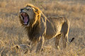 Male Lion Yawning, South Africa Stock Image - 24641411